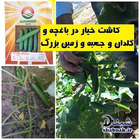 نحوه کاشت بذر خیار در باغچه حیاط , آموزش کاشتن خیار در باغچه و گلدان