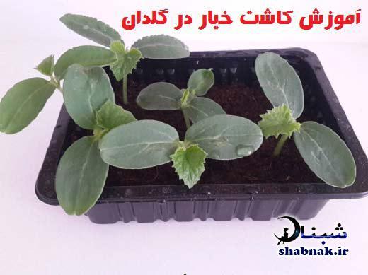 آموزش کاشت خیار در گلدان , کاشتن خیار گلدان